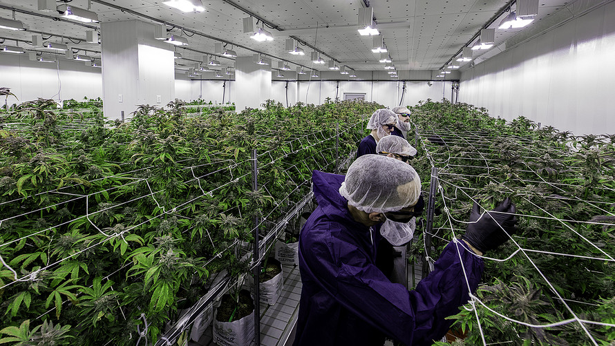 MarketWatch: Cannabis stocks rally after Aurora posts first earnings of December quarter